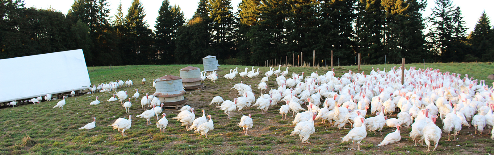 HP-Banner-Turkeys-Zoomed-Out